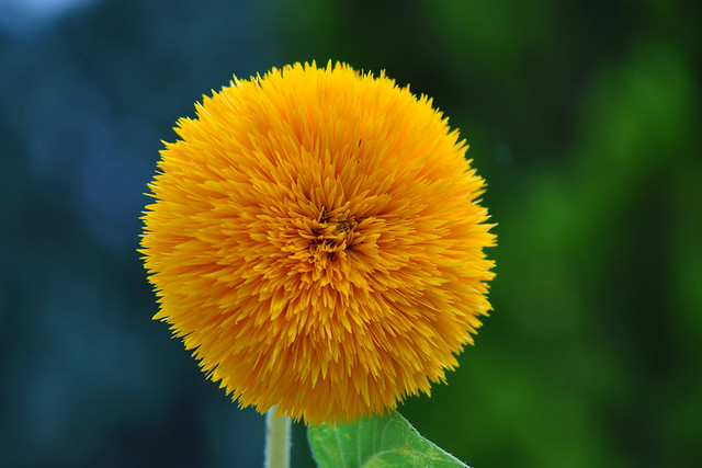 Common double Sunflower (Helianthus Annuus Giant Sungold)