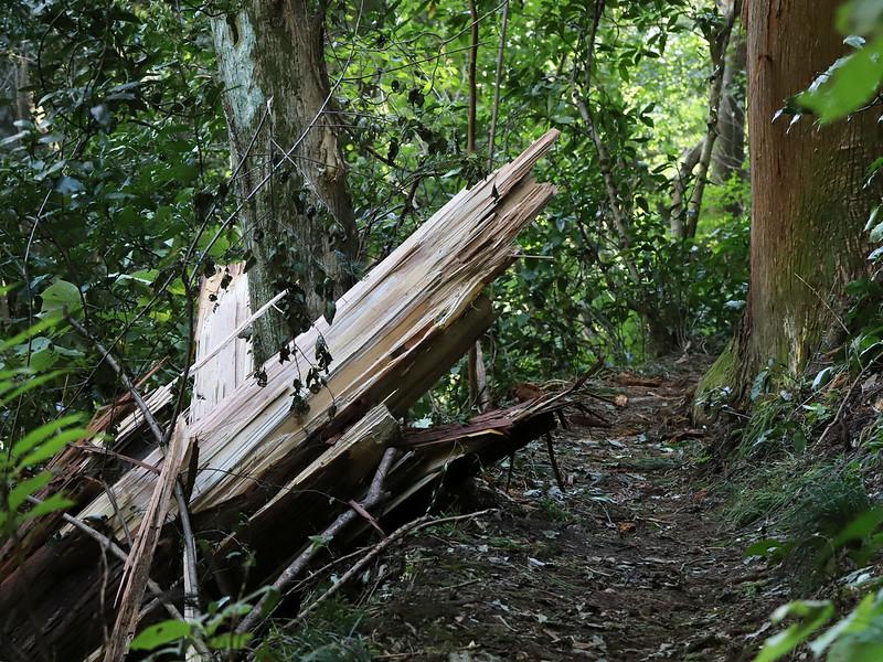 倒木−高尾山