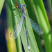 Spotted Spreadwing - Lestes congener (Lestidae) 118z-9077506