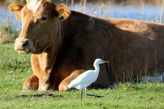Cattle Egret-7D2_0258-001
