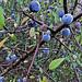 Blackthorn (Sloe Berries)