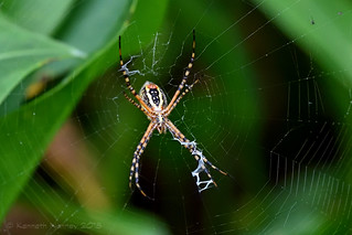 BANDED ARGIOPE 5
