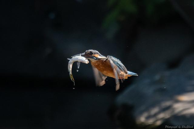 20181029-kingfisher-DSC_9627