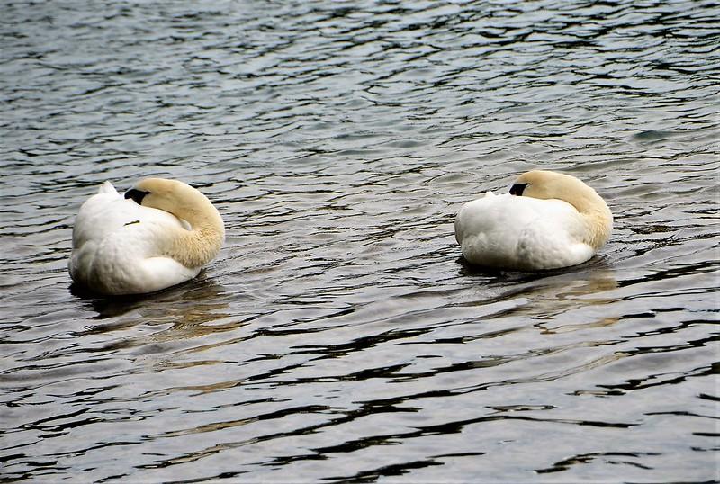 Swans 23.09 (3)