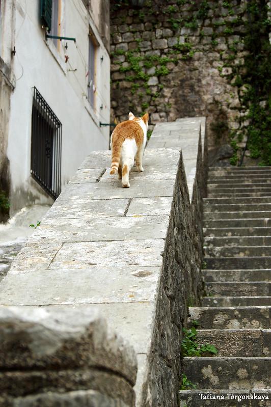 Кот, гулящий по Котору