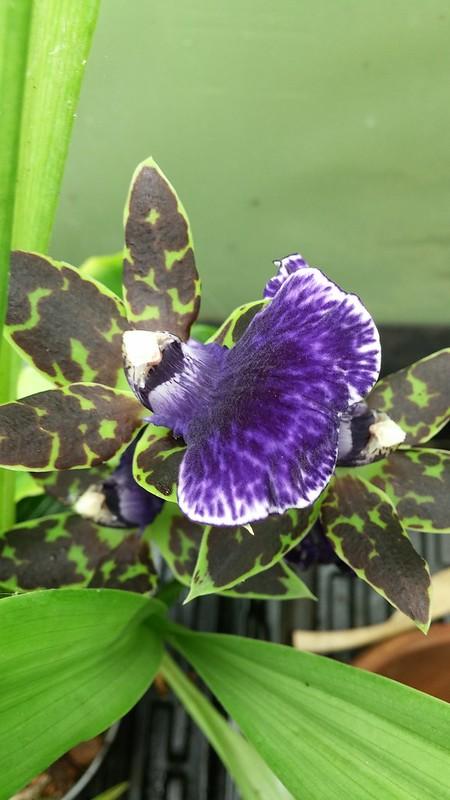 Les orchidées chez Sougriwa - Page 9 43755805600_2cc290d562_c