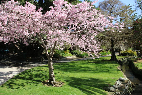 <p>The trees in Riddiford Gardens, Lower Hutt seem to provide a bigger and better spring show every year. It's a joy too wander through this peaceful oasis of colour.</p>