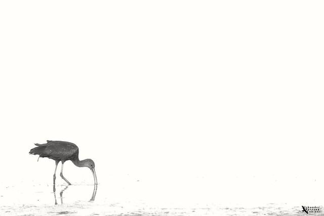 Plegadis falcinellus