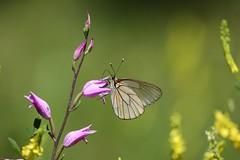 Black-veined White Butterfly (Sortåret Hvidvinge), Digne-les-Bains - Photo of Champtercier