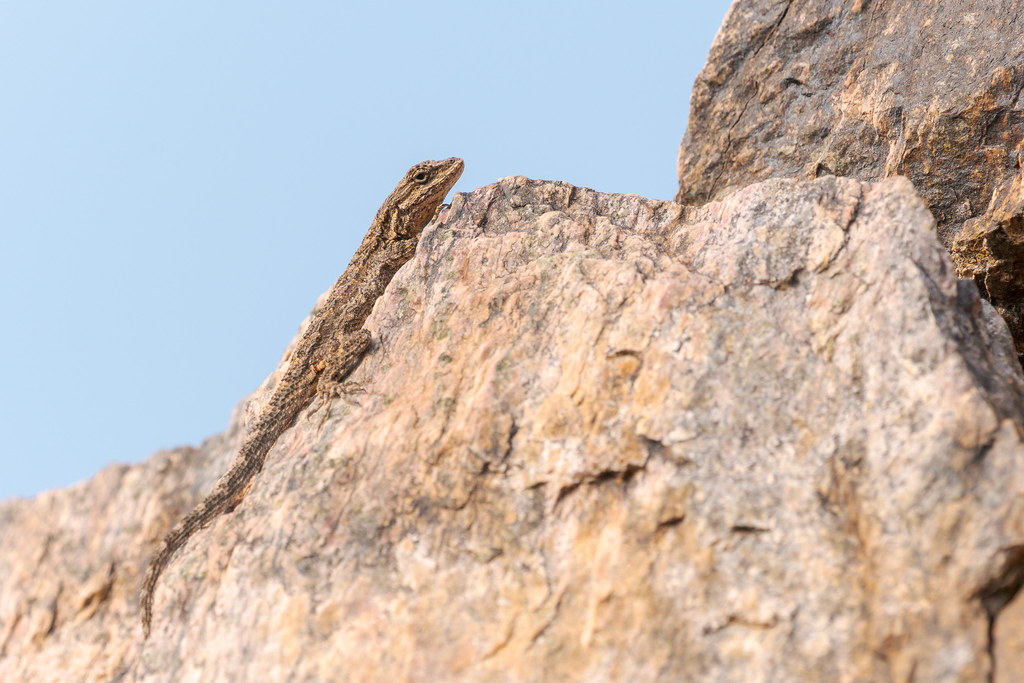An ornate tree lizard climbs up a jumble of rocks at the Piestewa Peak Summit Trail in Phoenix Mountains Preserve