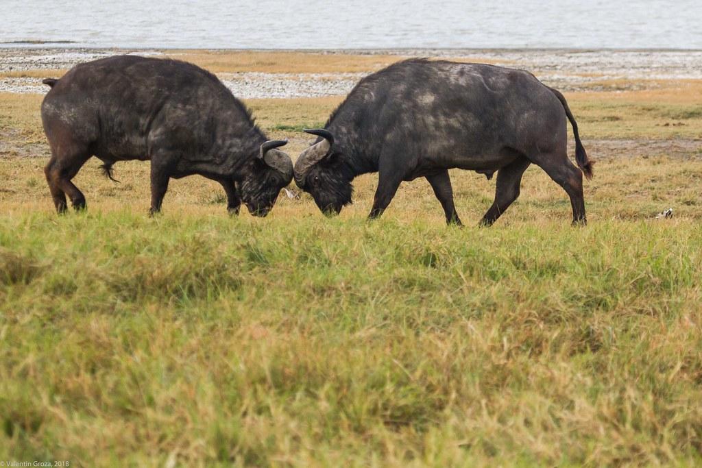 Ngorongoro_18sep18_13 bivoli2