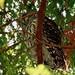 Barred Owl by Chashin