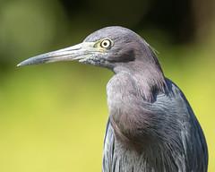 Little Blue Heron Closeup
