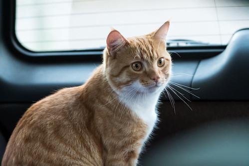 strange cat in my car