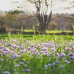 2018:10:31 16:45:04 - Flower Field Bokeh - Schleswig-Holstein - Deutschland