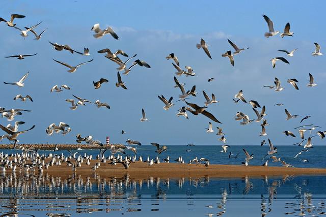 Festival de gaivotas