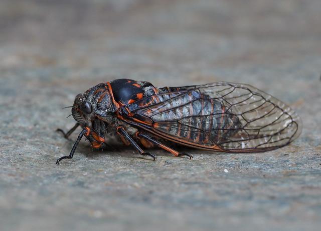 Tibicina quadrisignata ? (species ID to be confirmed), Le Collet-de-Dèze, Lozère, France