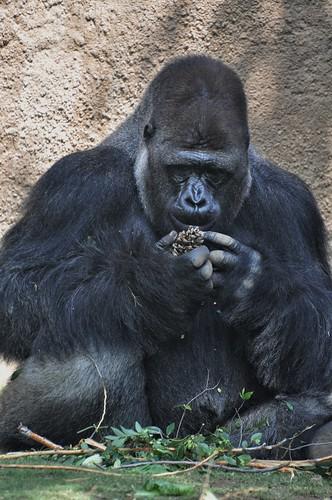 ニシローランドゴリラ ゴリラ animal gorilla zoo ニシゴリラ westerngorilla westernlowlandgorilla 動物園 lazoo ロサンゼルス動物園 losangeleszoo