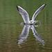 Black-headed Gull,  Chroicocephalus ridibundus