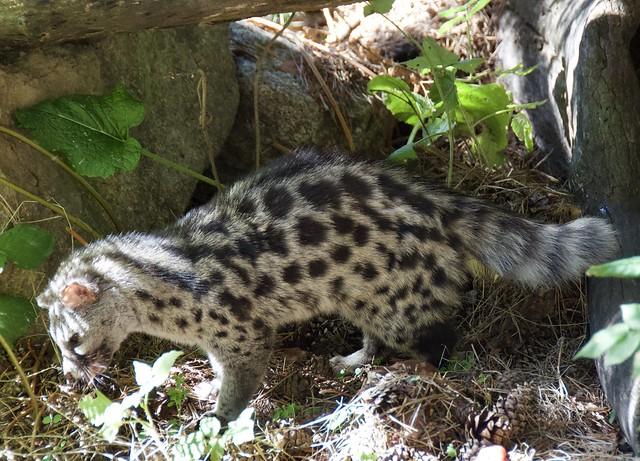(Genetta genetta) Geneta comuna, gat mesquer o gat moro al Centre Fauna, Món Natura Pirineus, Les Planes de Son, Pallars Sobirà, Catalunya.