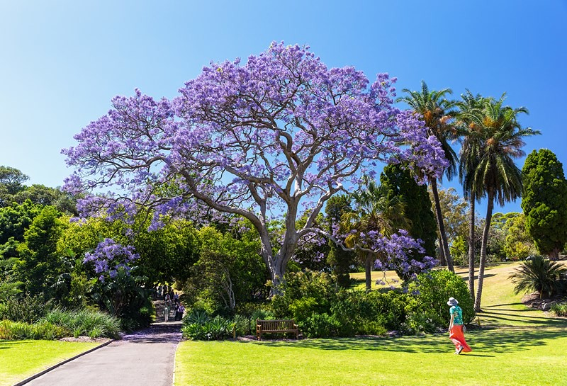 Jacarandas in Spring bloom, Sydney