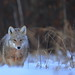 Coyote at sunrise by fred.colbourne