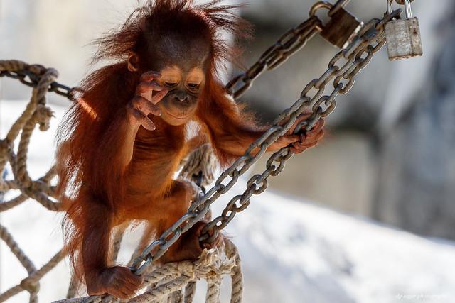 Bornean Orangutan, Canon EOS 5D MARK III, Canon EF 300mm f/2.8L IS II USM + 1.4x