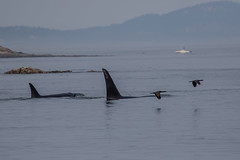 Orcas and Brandt's Cormorant