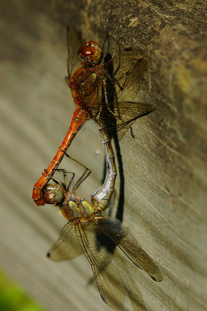 DSC02253 - Common Darter, Sony SLT-A77V, 70-400mm F4-5.6 G SSM