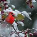 Cardinal and Crabapples-47385.jpg