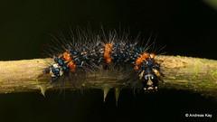 Tiger moth caterpillar, Dysschema sp.