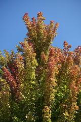 Leaves changing color @ Parc Vignières-Pommaries @ Annecy-le-Vieux