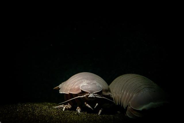Giant Isopod in the Dark