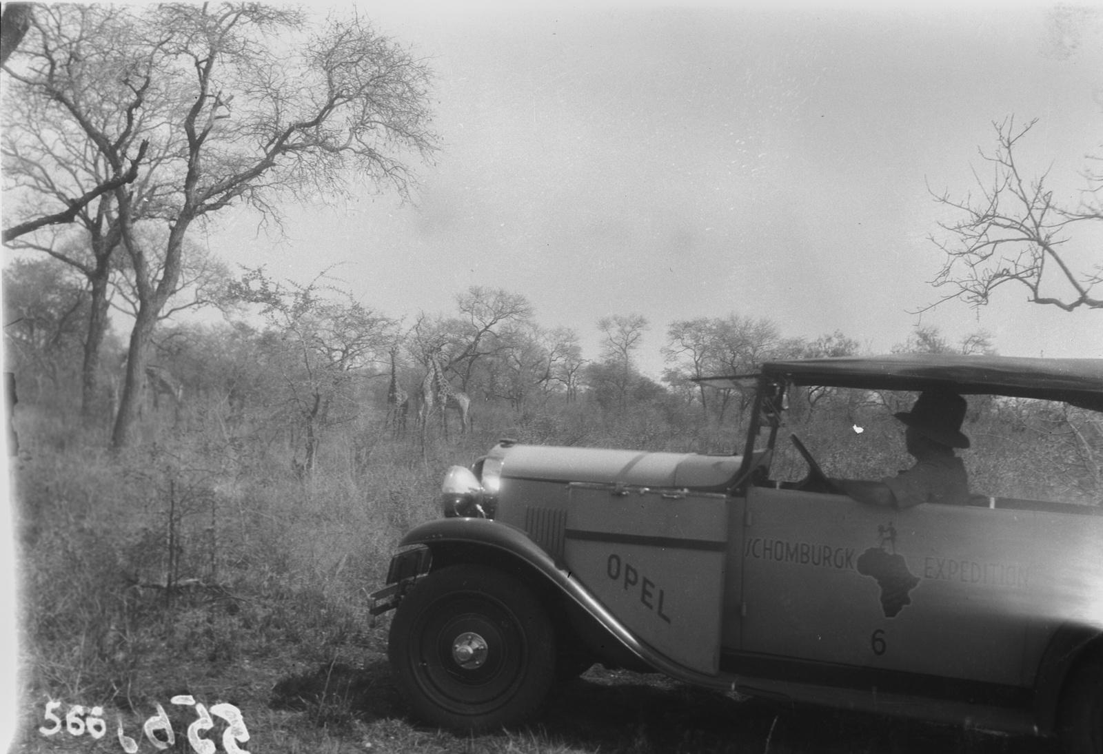 Национальный парк Крюгера. Участник экспедиции наблюдает из машины за стадом жирафов