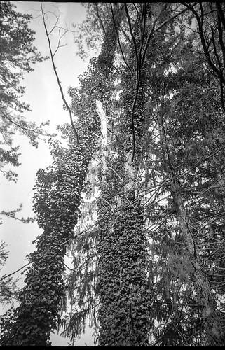 lookingup trees ivy ivycovered treetrunks asheville northcarolina leicac1 rolleirxp400 kodaktmaxdeveloper 35mm 35mmfilm film compactcamera landscape blackandwhite monochrome monochromatic