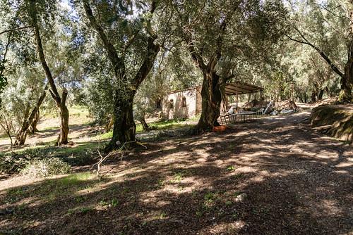 20-Des oliviers imposants