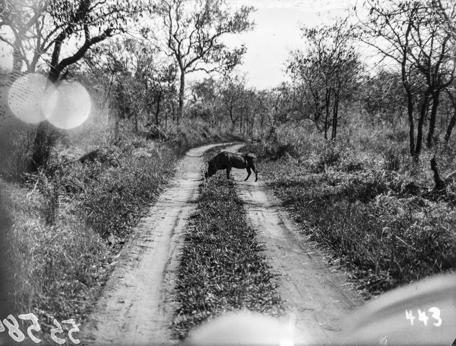 Национальный парк Крюгера. Бородавочник пересекает дорогу перед машиной экспедиции