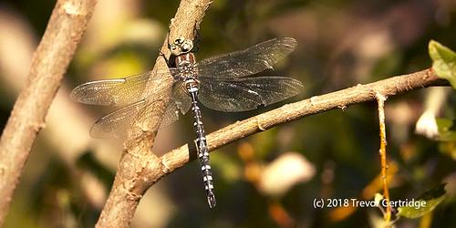 Canada Darner Dragonfly