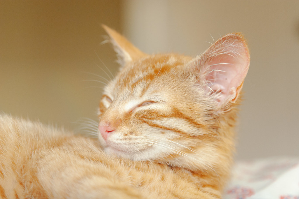 A close-up of our cat Sam sleeping as a kitten a few days after we adopted him