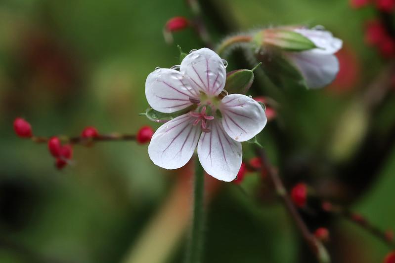 Geranium wilfordii Maxim.  ミツバフウロ