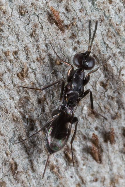Eupelmid wasp?
