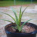 New pineapple plant