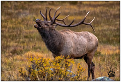 Bull Elk RMNP 092417-1236-W.jpg