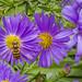 9-22-2018 wide bee on purple flower-1