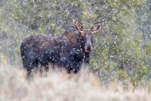 Moose Snow-globe...