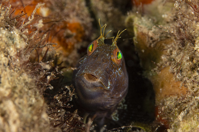 blenny7Oct18-18, Canon EOS REBEL T4I, Canon EF-S 60mm f/2.8 Macro USM