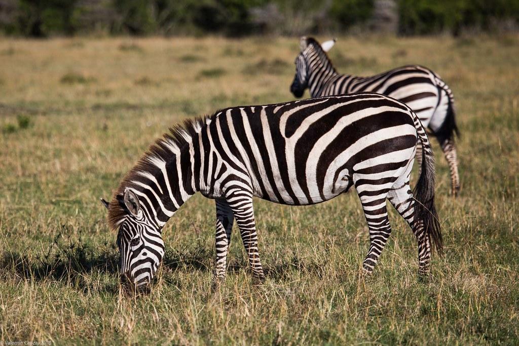 Maasai Mara_13sep18_27_zebra