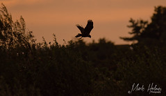 Early morning Marsh Harrier.