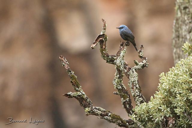 [In Explore] Monticola solitarius Monticole bleu Blue Rock Thrush Roquero Solitario Blaumerle