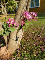 Bauhinia purpurea L. Fabaceae Caesalpinioideae-Orchid Tree 1